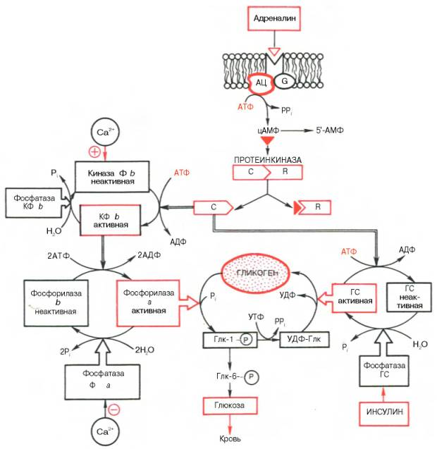 Дать определение понятий клетки-мишени рецепторы гормоны